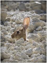 CONEJO (BLAMANTI) Tags: conejos conejo rabbit naturaleza viñedos viñas viticultura camuflaje