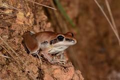 Bridled frog (Litoria nigrofrenata) (shaneblackfnq) Tags: bridled frog litoria nigrofrenata shaneblack amphibian julatten fnq far north queensland australia tropics tropical