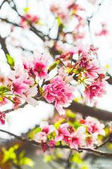 DSC_4487 (Frankie Tseng (法蘭基)) Tags: yms taipei taiwan flower flowers nikon cherryblossoms summer spring 2017 abstract blur bw bwphotography blackwhite yangmingshan 台北 櫻花 陽明山 台灣 抽象