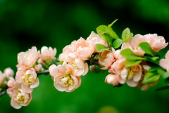 quince tree blossom (andrey.peh) Tags: spring flowers pink quince айва sunny