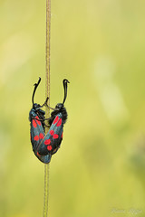 """""""L'Amour ne tient qu'à une tige..."""" (regisfiacre) Tags: zygaena filipendulae zygène filipendule papillon butterfly schmetterling farfalle insect insecte insekt bug bugs ailes wings nature sauvage wild wildlife macro macrophoto macrophotography macrophotograpie canon 5div mark iv 4 plein format full frame sigma 150mm apo ex dg os hsm moselle france prairie fleurie meadow rouge red noir black points dots ngc"""