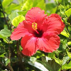 T06484 (joekerstef) Tags: cruise bermuda flowers hybiscus