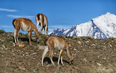 Guanacos grazing (marko.erman) Tags: magellanes chile andes river nature beautiful pristine mountains peaks glaciers landscape panorama outside pov travel popular biosphere unesco sony paysage patagonia torresdelpaine guanacos camelid animal grazing