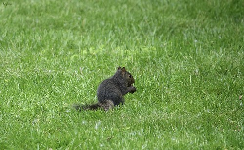 """Black Squirrel • <a style=""""font-size:0.8em;"""" href=""""http://www.flickr.com/photos/52364684@N03/34376267733/"""" target=""""_blank"""">View on Flickr</a>"""