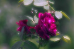Two red roses Tuscany_soft focus (Adam Nowak) Tags: soft blury rose