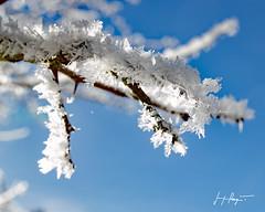 Bourgeons givrés  - Jura / D60_8998 (P Jacque) Tags: jura nature neige blanc hiver glace givre froid soleil ciel arbre plante branche gelée cristaux franchecomté