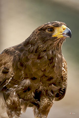 "Águila Real Ibérica ""Aquila chrysaetos homeyeri"" (*Alphotos) Tags: alphotos aves rapaces animal ibérico rapaz"