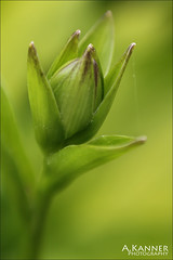 Lensbaby Sweet 50 - Explore (angelakanner) Tags: canon70d lensbaby sweet50 garden blur green