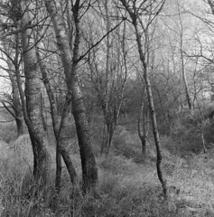 Old river bed, overgrown (Other dreams) Tags: pomerania poland landscape bw film fp4 paranols rolleiflex xenotar 75mm f35 nofilter spring vistula riverbed poplar trees grass ditch