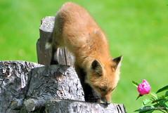 DSC_0803 (rachidH) Tags: fox renard vulpes foxcub renardeau redfox renardroux vulpesvulpes backyard frontyard wildlife sparta newjersey nj rachidh nature
