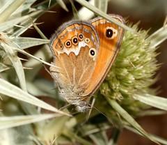 Coenonympha corinna (Pietro Niolu) Tags: lepidoptera nymphalidae coenonympha coenonymphacorinna alghero portoconte sardegna
