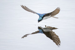 Tree Swallow Reflection (Jeff Dyck) Tags: tree swallow treeswallow tachycinetabicolor feeding pond reflection birdinflight princegeorge bc britishcolumbia birds jeffdyck