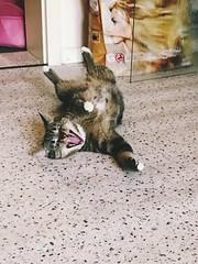 Tiger! (A_K_90) Tags: pet cat tiger haustier katze