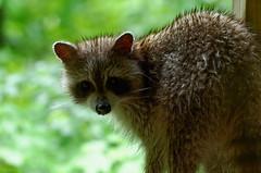 TRASH PANDA (timbo on the hill) Tags: usa spring 2017 indiana english lakepatoka dxo nikond7000 mammal raccoon trashpanda wet water seeds