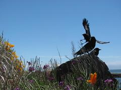 action_1846 (Michael.C.G) Tags: birds oakbay crows ocean mcneillbay beachdrive summer