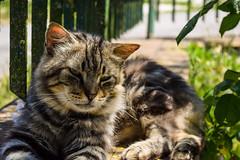 Micio (GeologistAngler) Tags: gatto felino tigrato giardino fuse animali natura fotografia nikon d3300