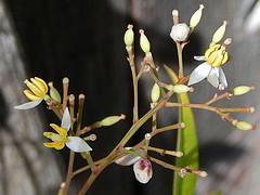 Nandina blossoms (jhitzeman) Tags: flowers blossoms nandinadomestica heavenlybamboo garden