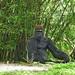 104 (Coyote Dave) Tags: animal gorilla disneyworldanimalkingdom nikonp900