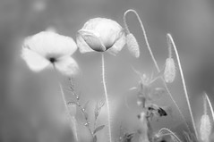 When the soul lies down in that grass... (Eggii) Tags: poppies poppy monochrome bw smooth gentle delicate grass walk filed relaxin relax village place
