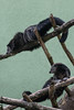 Binturong - Zoo Heidelberg (HendrikSchulz) Tags: 2017 arctictisbinturong binturong canon canoneos7dmarkii deutschland germany hd heidelberg hendrikschulz hendriktschulz june juni marderbär palmenroller schleichkatze tierfotografie tierpark zoohd zoophotography zoofotografie animalpark animalphotography canonef70200f4lusm