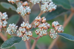 DSC_6659 (MargaretDonald) Tags: rhamnaceae pomaderris barrenjoey 05062017