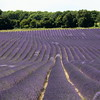 Lavender Fields, Castle Farm, Darent Valley Walk (timothyhart) Tags: darentvalleywalk darentvalley river darent kent walking countryside england english southeast lavender summer