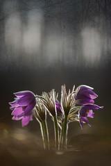 DSC_3068-1 (melnikovee) Tags: flower pulsatílla anemone macro art artmacro multiexposure nature plant flora