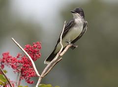 Eastern Kingbird (Eric_Z) Tags: easternkingbird kingbird colonyfarmregionalpark coquitlam britishcolumbia canada canoneos7dmkii ef100400mmf4556lisiiusm