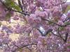 1342 (en-ri) Tags: fiorellini flowers little sony sonysti rosa albero tree