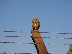 DSC09762 Coruja-buraqueira num poste da cerca da TAU em Uberlândia MG (Johannes J. Smit) Tags: brazil brasil owl coruja athenecunicularia