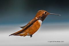 "Mr Rufous Hummingbird (jimgspokane) Tags: hummingbirds hummers birds wildlife rufoushummingbirds ""nikonflickraward"" today´sbest"