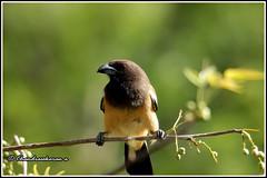 6994 - treepie (chandrasekaran a 40 lakhs views Thanks to all) Tags: treepie birds nature india chennai canon60d tamronsp150600mmg2