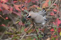 HNS_0946 Pestvogel : Jaseur boreal : Bombycilla garrulus : Seidenschwanz : Bohemian Waxwing