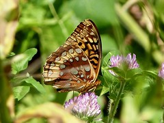 Great Spangled Fritillary (Speyeria cybele) (WRFred) Tags: butterfly nature wildlife insect maryland montgomerycounty senecaquad