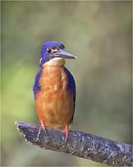 Azure Kingfisher (Charles Connor) Tags: azurekingfisher kingfisher daintreerainforest daintreeriver exoticbirds colourfulbirds australia queensland waterbirds smallbirds birdphotography canon100400lens canon7dmk11