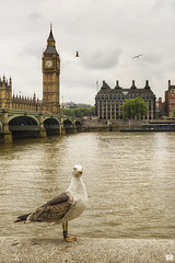 What if I stand like this then? (BAN - photography) Tags: westminsterbridge bigben seagull clock thamesriver southbank arches d810 london