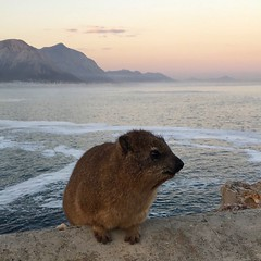 Dassie at sunset (rjmiller1807) Tags: dassie hyrax rockhyrax hermanus capetown westerncape sea sunset mountains clouds pretty fluffy furry cute southafrica iphonography iphone iphonese 2017 june foam animal