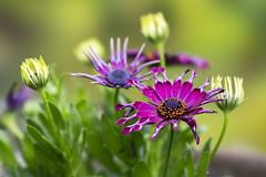 Chrysanthemum (wietsej) Tags: chrysanthemum flower garden sony 100 stf sel100f28gm a7rm2 a7rii wietse jongsma