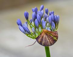 Blue Star. (Omygodtom) Tags: usgs scene scenic bokeh blue sunshine wildflower flickr flower 7dwf bnw tamron tamron90mm star diamond dof d7100 macro branch green garden google