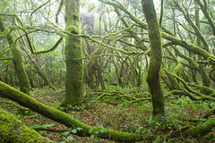 Laurissilva, a floresta das brumas (Armando Caldas) Tags: 06 0617 2017 armandocaldas canárias espanha florestalaurissilva ilhascanárias lagomera laurissilva floresta plantas árvores