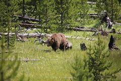Grizzly Bear Family (bbosica20) Tags: brownbears grizzlybears grizzlybear bears bear nature explore yellowstone yellowstonewildlife