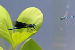 damselfly vs damselfly (dr.larsbergmann) Tags: nature thebeautyofnature nahaufnahme natur natureandnothingelse naturemasterclass fantasticnature photography photo flickr dragonfly dragonflies macrodreams macro