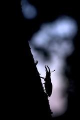 Stag beetle (Simon Jan) Tags: 2017 insect silhouette stagbeetle backlight dusk macro lucanuscervus