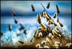 Bicheno Series #6 Hare Tail Grass (niggyl (well behind)) Tags: fujixpro2 supermulticoatedtakumar10528 bokeh bokehbubbles supermulticoated takumar asahipentax asahipentaxtakumar outoffocushighlights dof supermulticoatedtakumar depthoffield m42 wideopen flower haretailgrass bicheno bichenotasmania douglasapsleynationalparkbichenotasmania paddyshead tasmansea diamondisland waubsbay fujifilm fujifilmxpro2 xpro2 coastal coastline granite island fujinonxf18mm