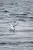JL1A9272.jpg (Graham Racher) Tags: arctictern mossbank shetlandislands sternaparadisaea tern