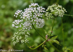 Cow Parsley (2000stargazer) Tags: anthrisicussylvestris cowparsley hundekjeks pipekjeks macro flora flowers wildflowers nature canon