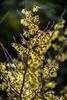Witch Hazel (Jocey K) Tags: witchhazel hamamelis southisland newzealand nikond750 christchurch monavale flowers