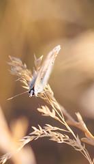 A Little blue butterfly(1) (Inka56) Tags: butterfly goldenhour sunlight sunset 7dwf fauna insect nature macro closeup bokeh bokehpainting shotfromabove hbw