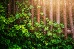 Breakthrough (Chrisnaton) Tags: colorsofnature leafs green sunlight naturedetails woodenfence ivy