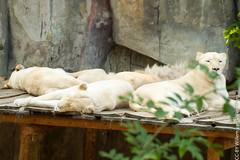 IMG_0613.jpg (wfvanvalkenburg) Tags: ouwehandsdierenpark familie lion
